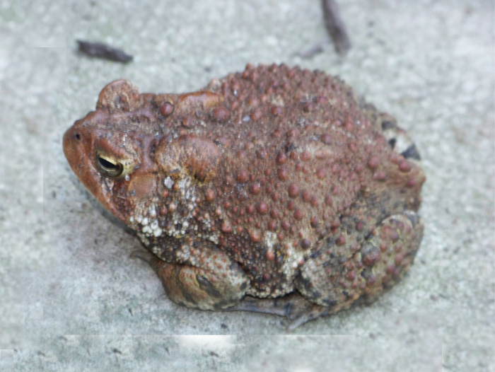Mr. Mottle the toad.